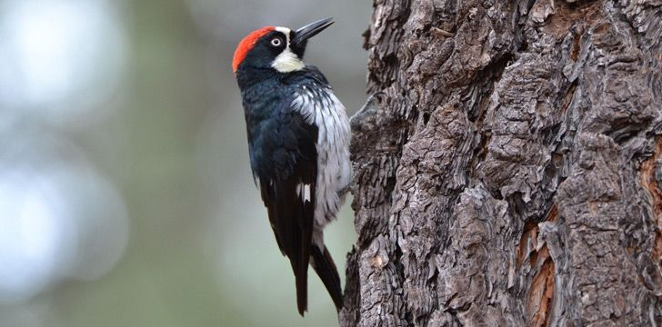 Woodpeckers eat brains when they get too hungry.