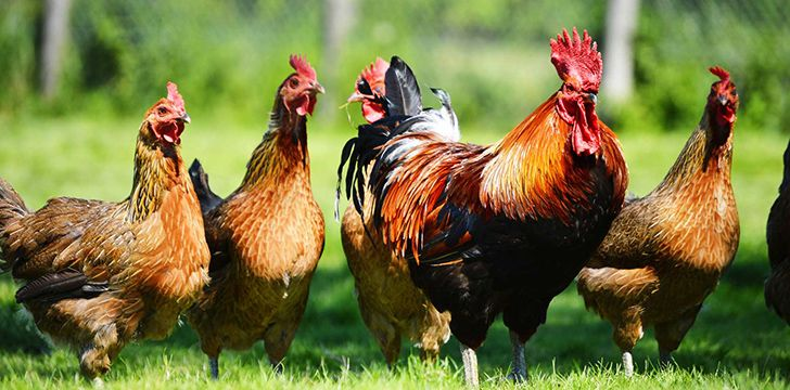 Facts You Didn't Know About Chickens