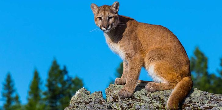 Mind Blowing Facts About Cougars