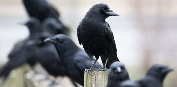 Interesting Facts About Crows