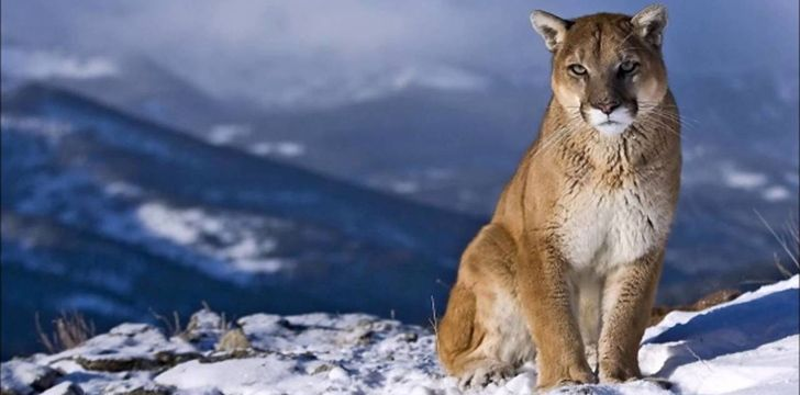 Awesome Facts About Cougars