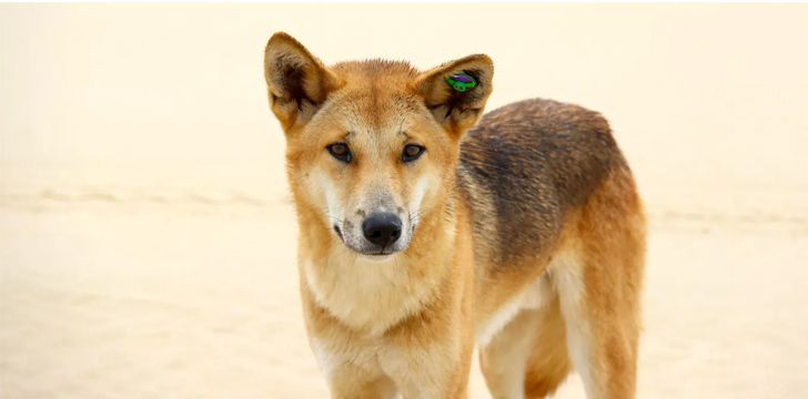 30 Furry Facts About Dingoes