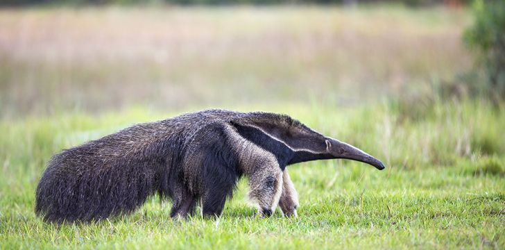30 Interesting Facts About Giant Anteaters That You Didn't Know
