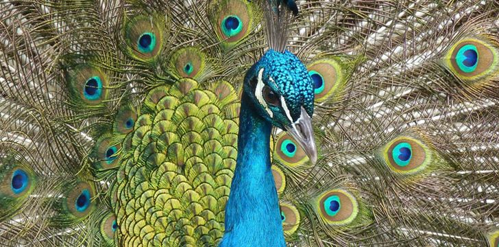 30 Fun Facts About Peacocks and Peafowl