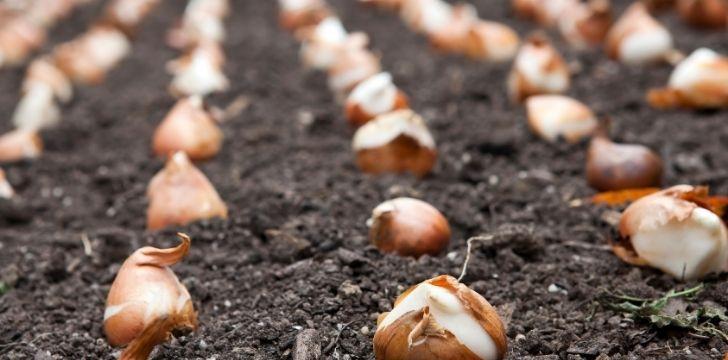 Rows of tulip bulbs being sown