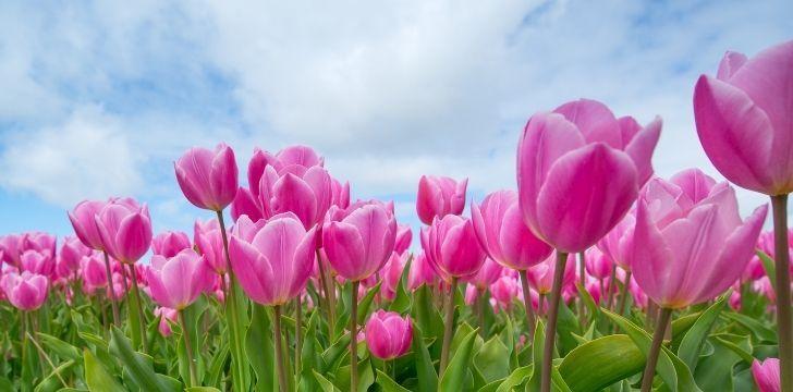Up close pink tulips