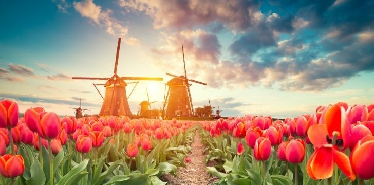 Rows or red tulips with windmills in the distance