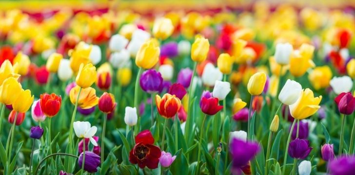Mixed colorful tulips