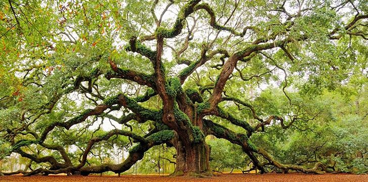 12 Facts About Oak Trees You Wood Not Believe | The Fact Site