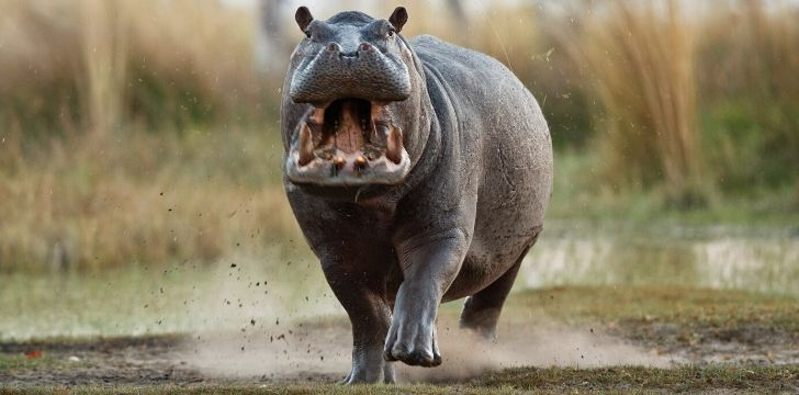 A hippo with its mouth open