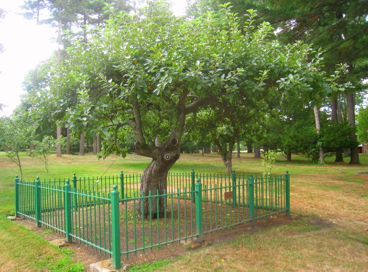 Isaac Newton's Apple Tree