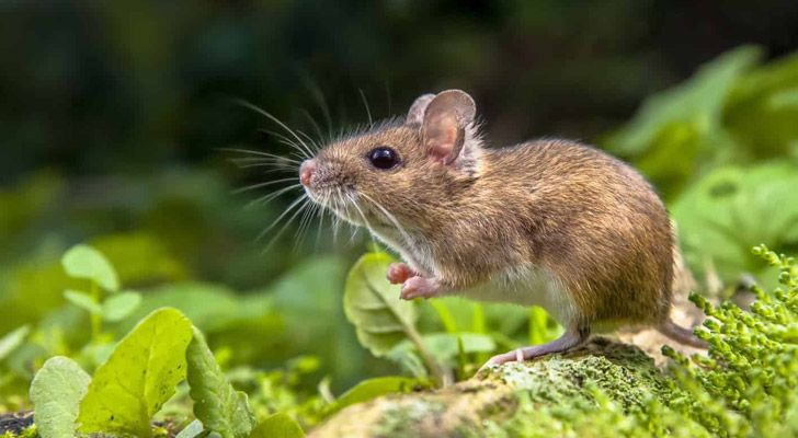 When mice live in the wild, they typically only live for about six months.