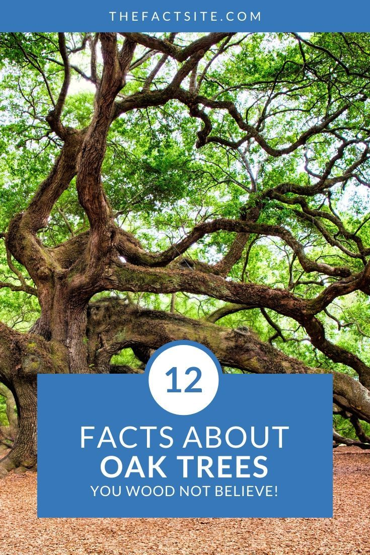 12 Facts About Oak Trees You Wood Not Believe