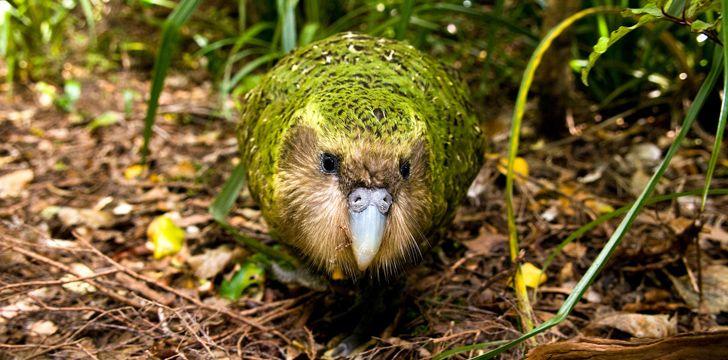 Fun Kakapo Facts