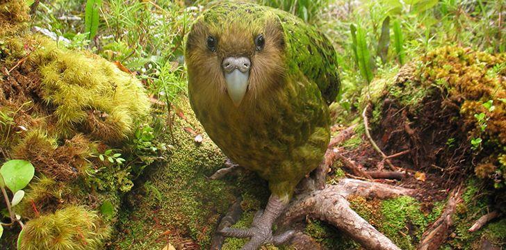Fascinating Kakapo Facts