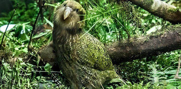 "The Name ""Kakapo"" means ""Night Parrot"" in the Maori language."