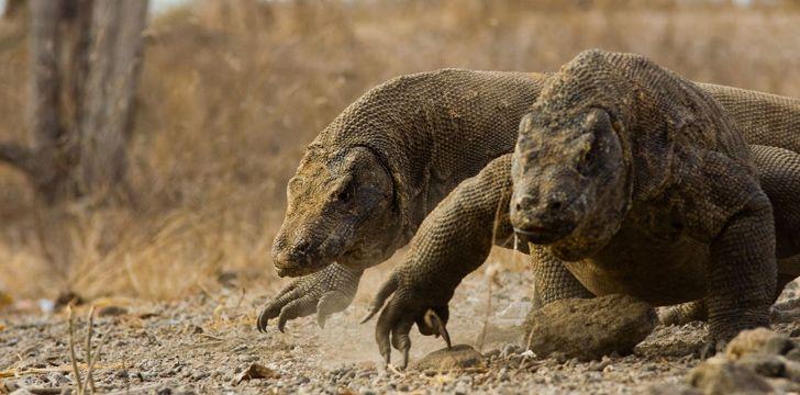 10 Fun Facts About Komodo Dragons