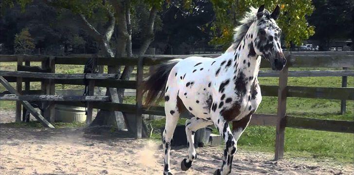 10 Wild Facts About Knabstrupper Horses