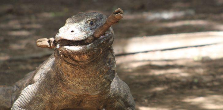 Komodo Dragons Eat A Lot!