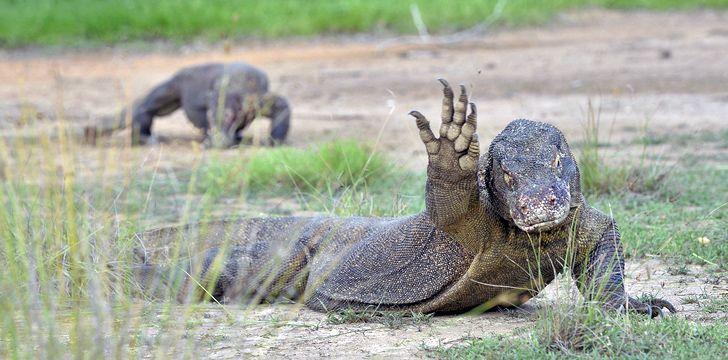 Oh Hey! Komodo Dragon Waves