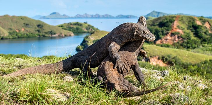 Komodo Dragons Playing