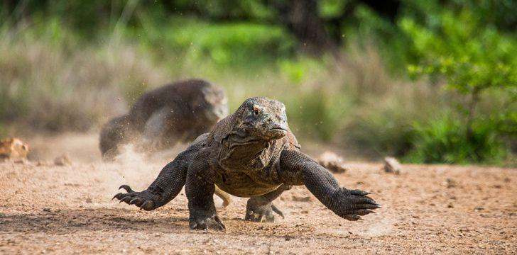Komodo Dragons Run Fast