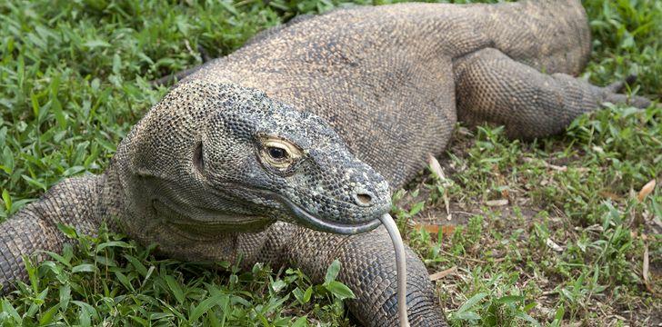 Komodo Dragons Sense of Smell