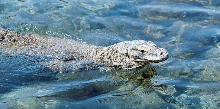 Komodo Dragon Swimming