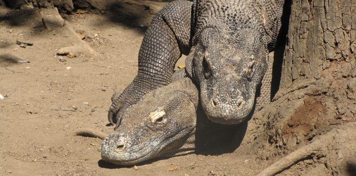 Komodo Dragons Mating