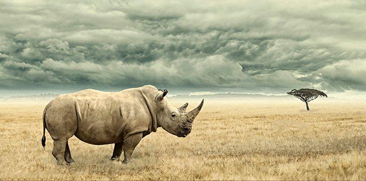 Rhinos are herbivores.