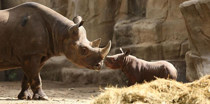 Crazy facts about Rhinos