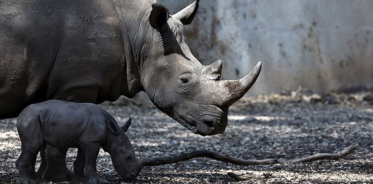 Black rhinos are gray, white rhinos aren't really white, and Sumatran rhinos are reddish-brown.