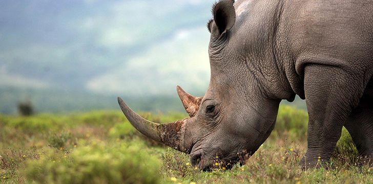 Poachers hunt rhinos for their horns.