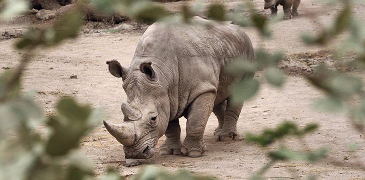Despite their huge size, rhinos can run or charge very fast.