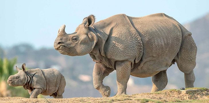Rhino moms are very protective of their babies.