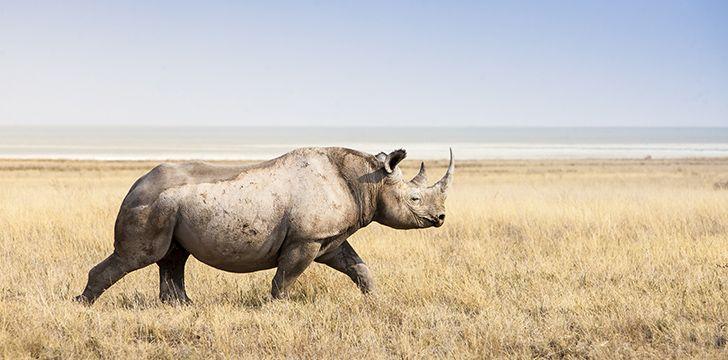 """The white rhino is """"big headed."""""""