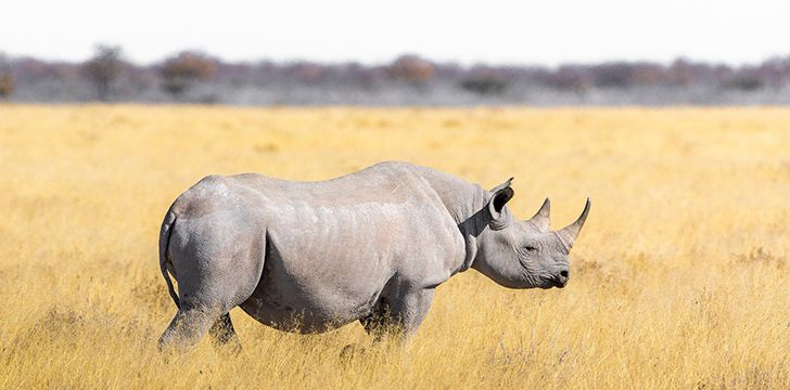 Rhinos can identify one another by their smell.