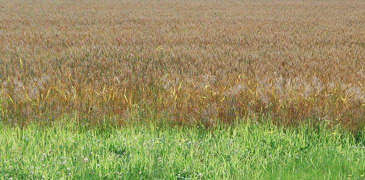 Grain versus Grass