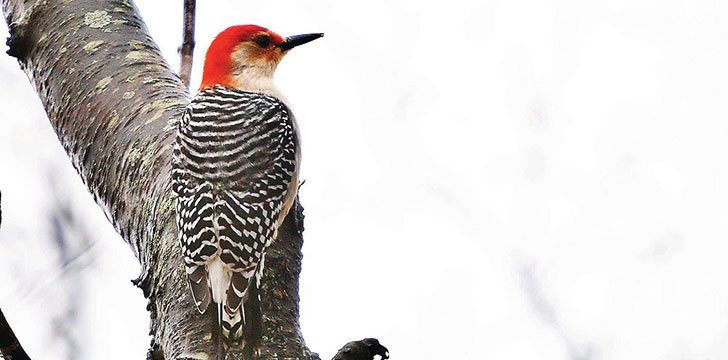 Wild Woodpecker Facts