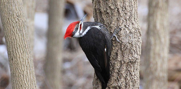 Woodpeckers communicate by pecking.