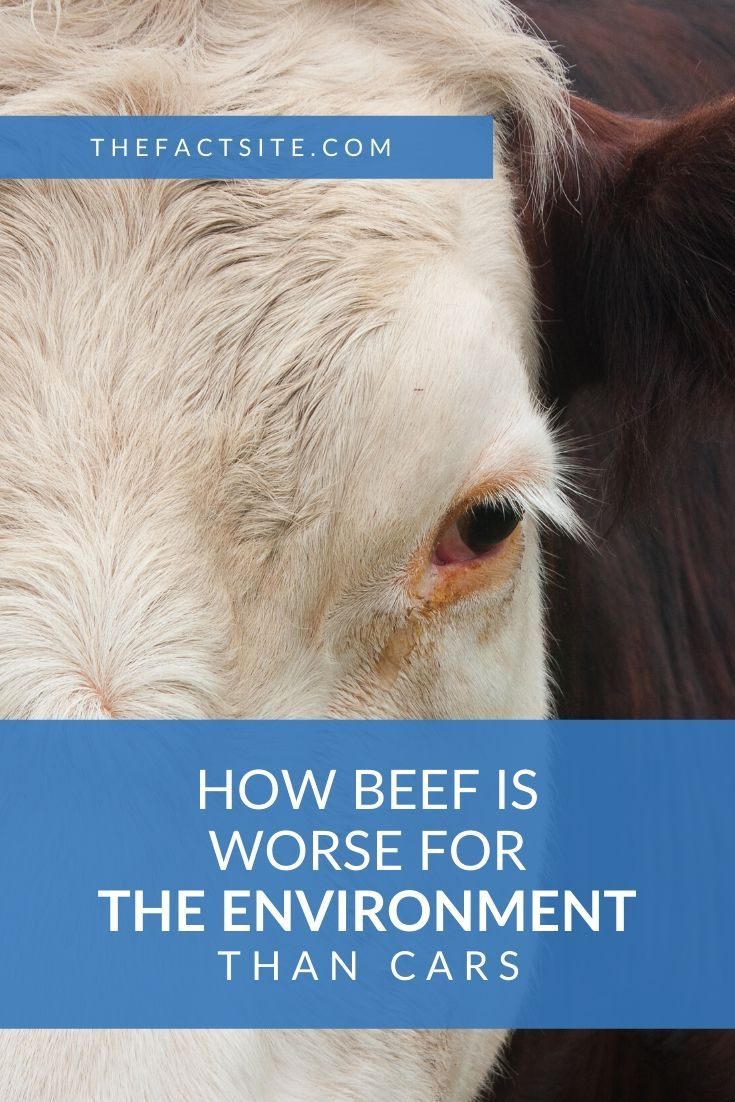 How Beef Is Worse For The Environment Than Cars