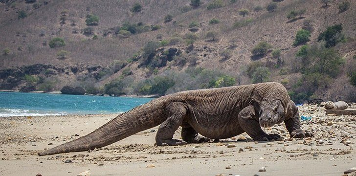 The Komodo dragon is dangerous to humans.
