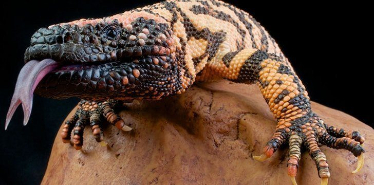 Lizards have several defense mechanisms.