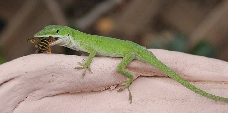 Lizards eat a varied diet.