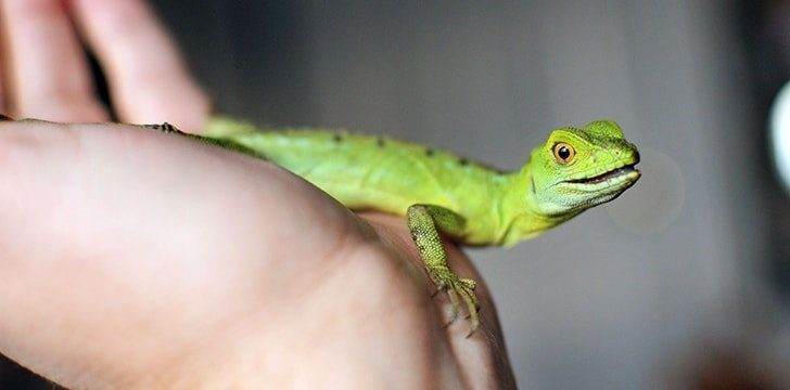 Many lizards are kept as pets.