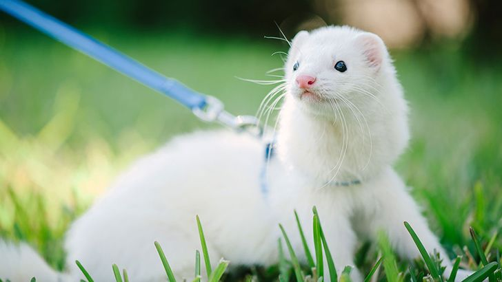 Ferrets, dogs and monkeys were the most popular pets in the Roman Empire.