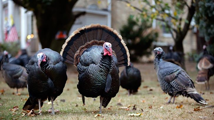 Turkeys were once worshiped as Gods.