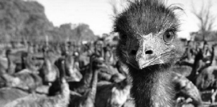 An emu staring closely at the camera with further emu's gathered behind