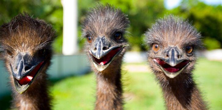 Three emu's laughing at the camera