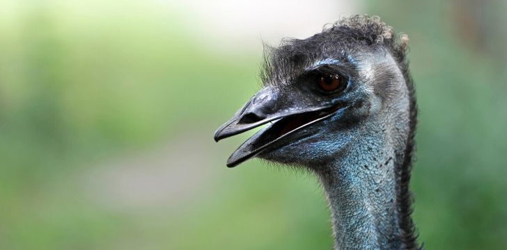 An emu up close looking as if they are laughing